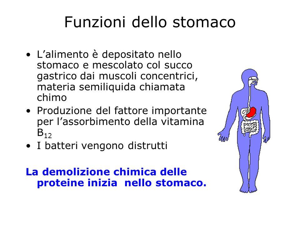 Funzioni dello stomaco Lalimento è depositato nello stomaco e mescolato col succo gastrico dai muscoli concentrici, materia semiliquida chiamata chimo