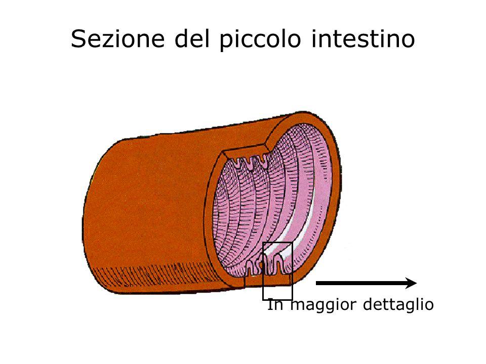 In maggior dettaglio Sezione del piccolo intestino