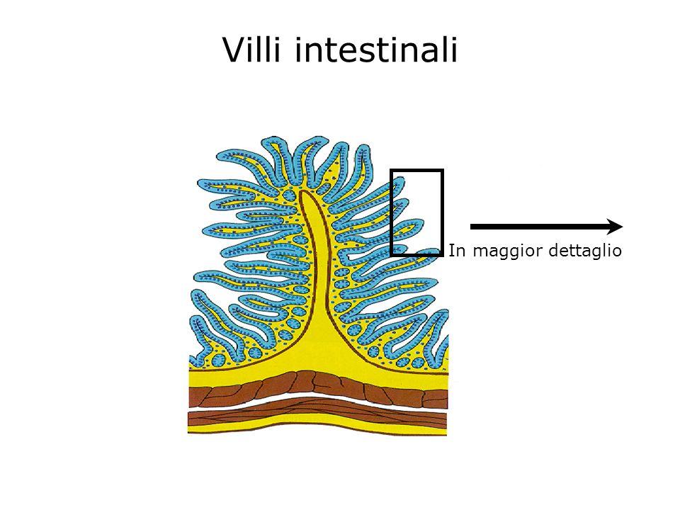 Villi intestinali In maggior dettaglio