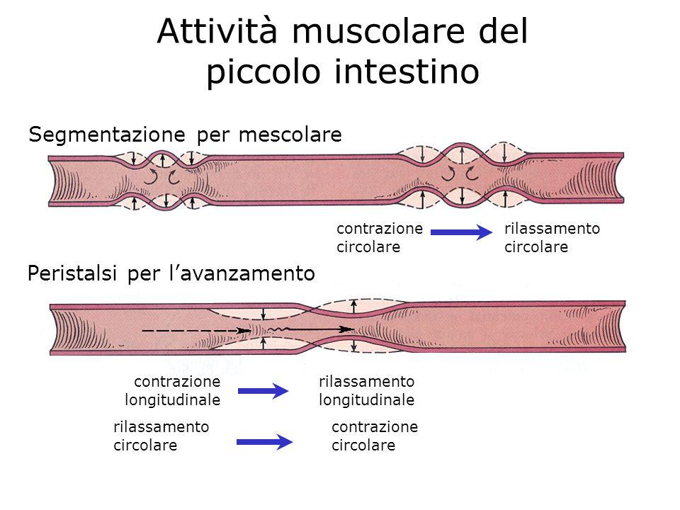 Attività muscolare del piccolo intestino contrazione longitudinale rilassamento longitudinale Peristalsi per lavanzamento Segmentazione per mescolare