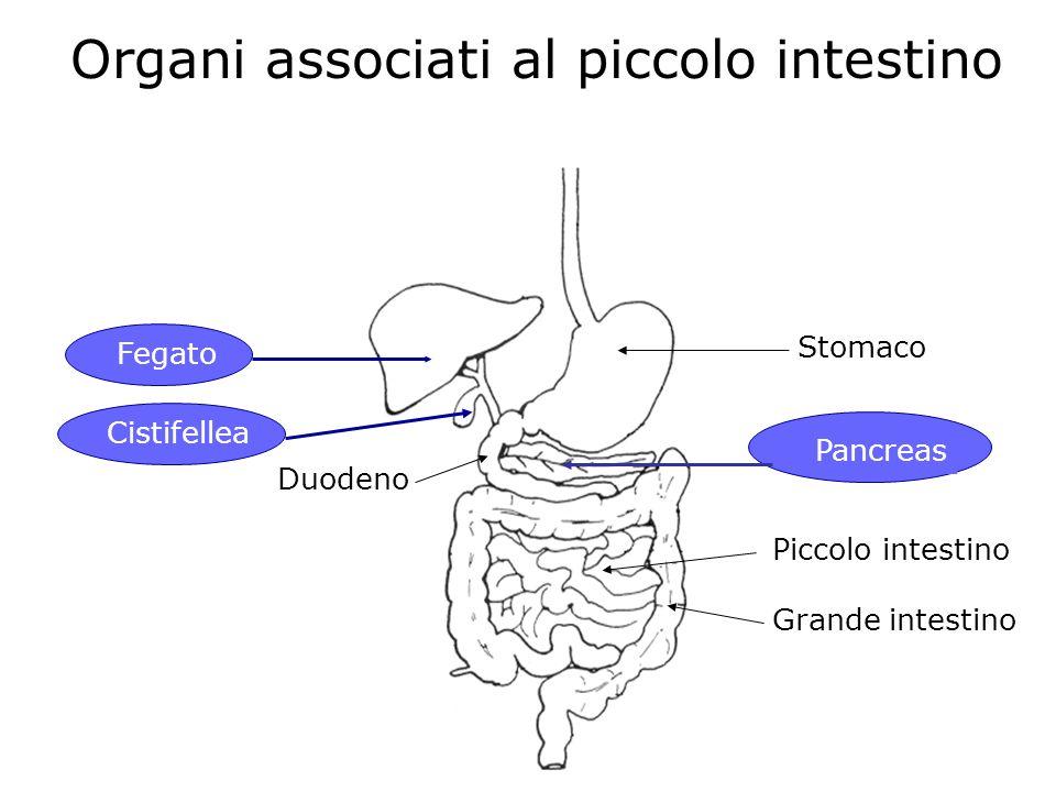 Organi associati al piccolo intestino Fegato Cistifellea Stomaco Pancreas Piccolo intestino Grande intestino Duodeno