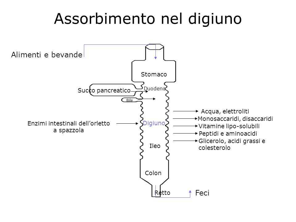 Assorbimento nel digiuno Stomaco Succo pancreatico Alimenti e bevande Bile Duodeno Digiuno Ileo Colon Retto Feci Monosaccaridi, disaccaridi Vitamine l