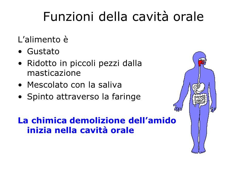 Funzioni della cavità orale Lalimento è Gustato Ridotto in piccoli pezzi dalla masticazione Mescolato con la saliva Spinto attraverso la faringe La ch