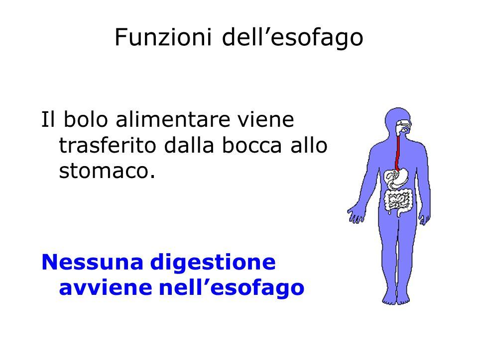 Funzioni dellesofago Il bolo alimentare viene trasferito dalla bocca allo stomaco. Nessuna digestione avviene nellesofago