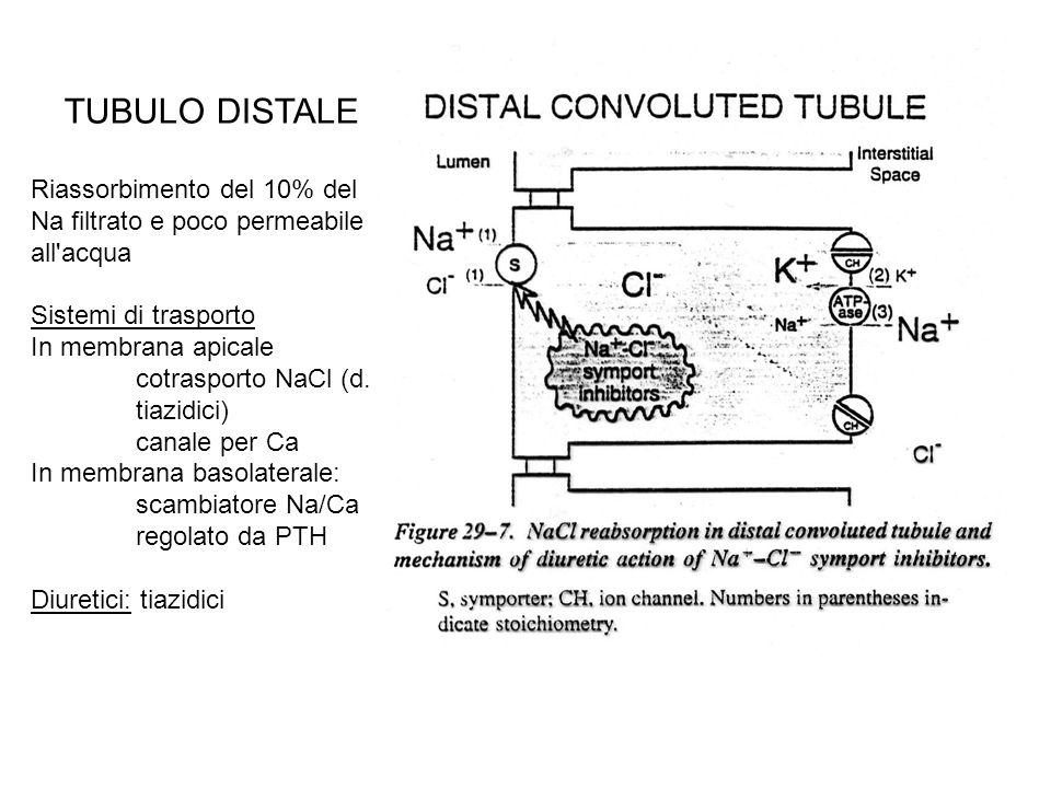 TUBULO DISTALE Riassorbimento del 10% del Na filtrato e poco permeabile all'acqua Sistemi di trasporto In membrana apicale cotrasporto NaCl (d. tiazid