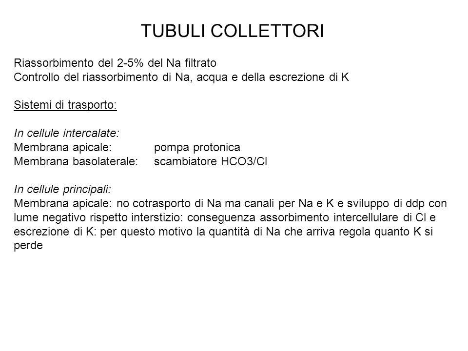TUBULI COLLETTORI Riassorbimento del 2-5% del Na filtrato Controllo del riassorbimento di Na, acqua e della escrezione di K Sistemi di trasporto: In c