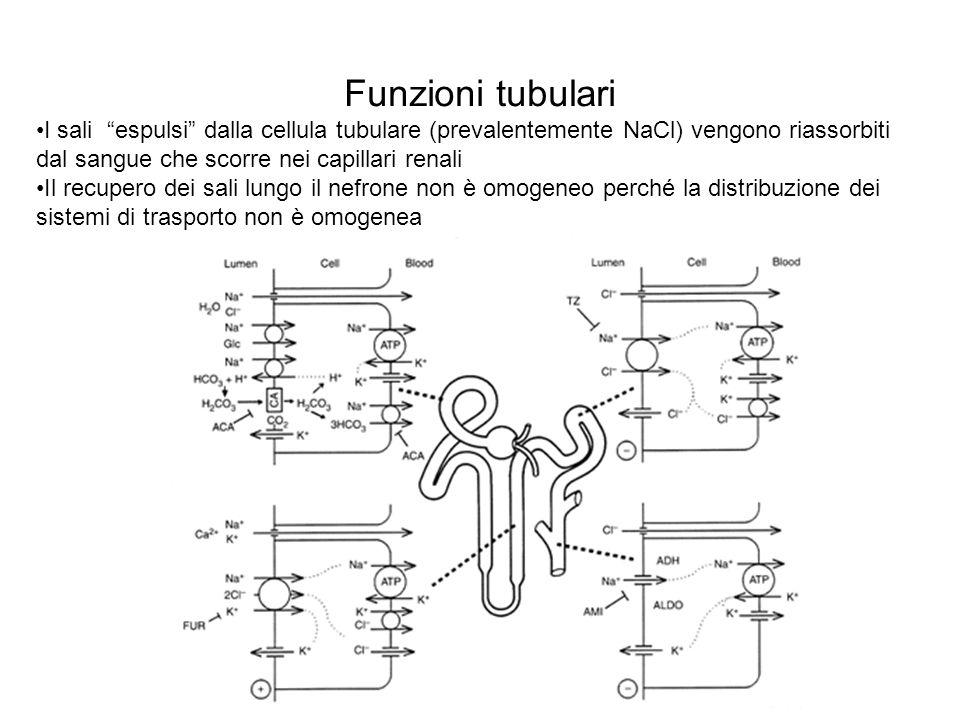 Funzioni tubulari I sali espulsi dalla cellula tubulare (prevalentemente NaCl) vengono riassorbiti dal sangue che scorre nei capillari renali Il recup