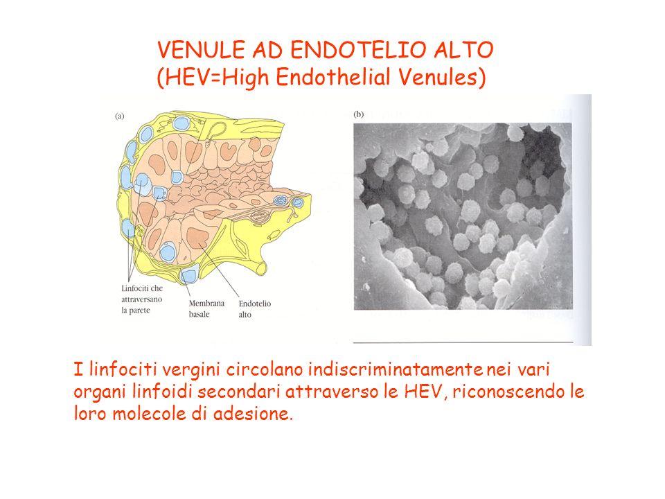 VENULE AD ENDOTELIO ALTO (HEV=High Endothelial Venules) I linfociti vergini circolano indiscriminatamente nei vari organi linfoidi secondari attravers