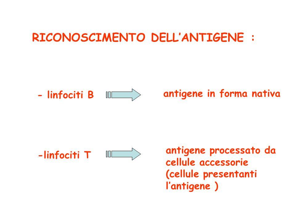 RICONOSCIMENTO DELLANTIGENE : - linfociti B antigene in forma nativa -linfociti T antigene processato da cellule accessorie (cellule presentanti lanti