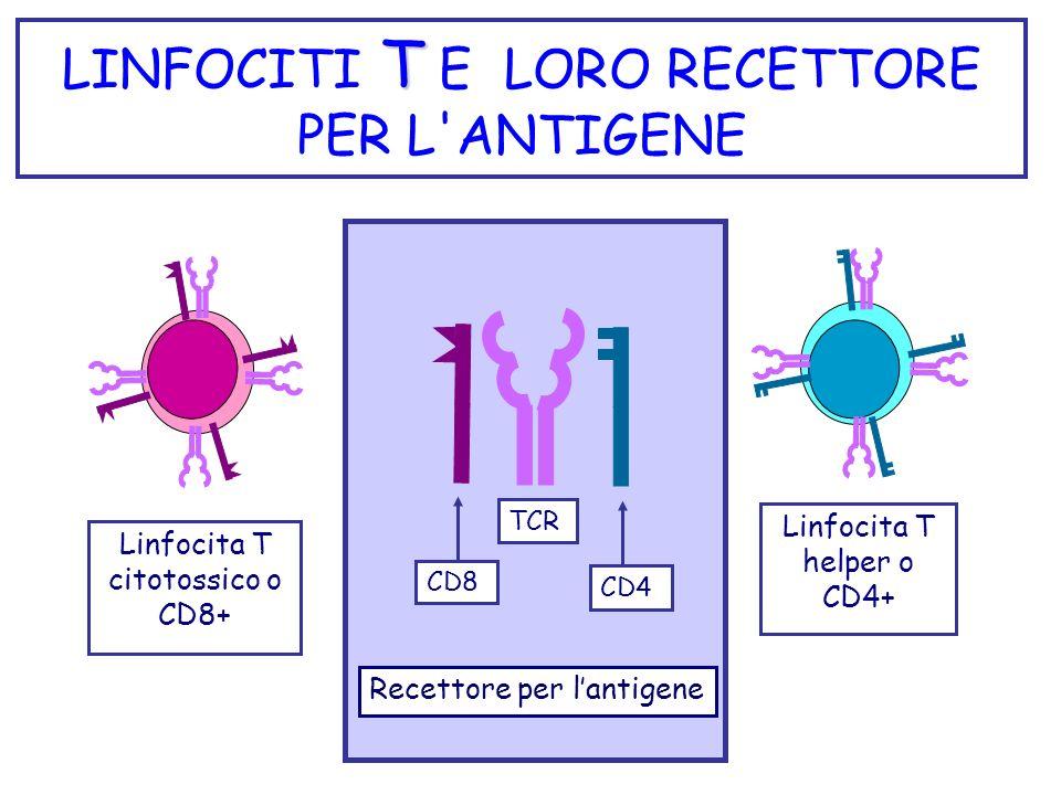 T LINFOCITI T E LORO RECETTORE PER L'ANTIGENE Linfocita T helper o CD4+ Linfocita T citotossico o CD8+ TCR CD4 CD8 Recettore per lantigene