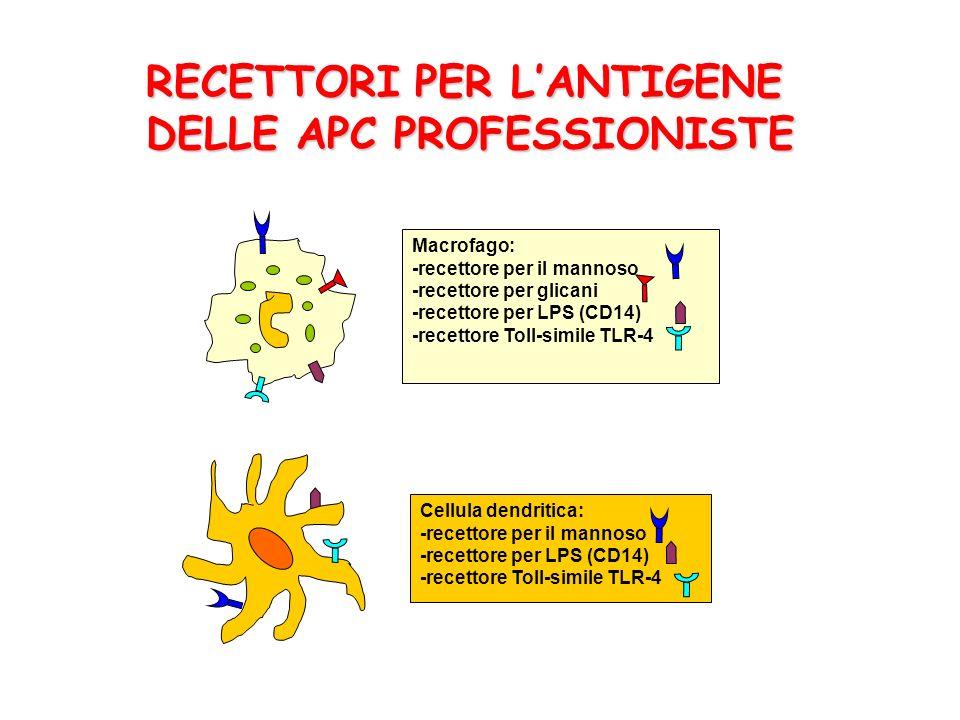 RECETTORI PER LANTIGENE DELLE APC PROFESSIONISTE Macrofago: -recettore per il mannoso -recettore per glicani -recettore per LPS (CD14) -recettore Toll