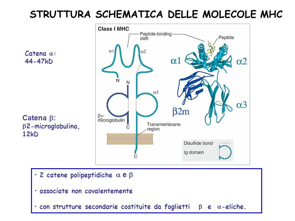 STRUTTURA SCHEMATICA DELLE MOLECOLE MHC Catena : 2-microglobulina, 12kD Catena : 44-47kD 2 catene polipeptidiche e associate non covalentemente con st