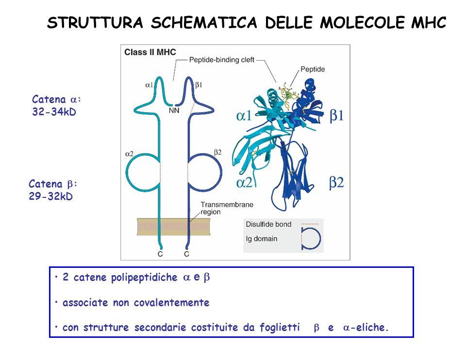 STRUTTURA SCHEMATICA DELLE MOLECOLE MHC Catena : 32-34kD Catena : 29-32kD 2 catene polipeptidiche e associate non covalentemente con strutture seconda