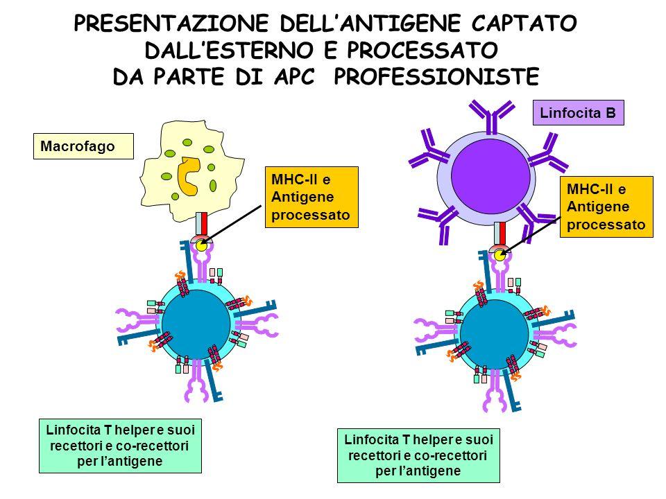 Linfocita T helper e suoi recettori e co-recettori per lantigene MHC-II e Antigene processato Linfocita B PRESENTAZIONE DELLANTIGENE CAPTATO DALLESTER