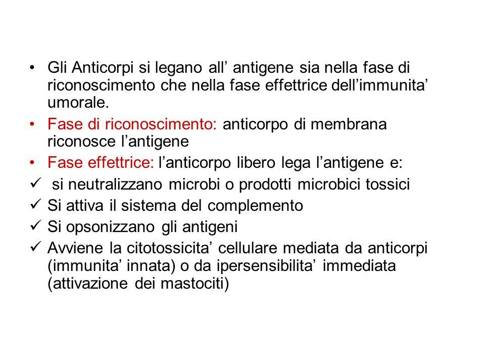 Gli Anticorpi si legano all antigene sia nella fase di riconoscimento che nella fase effettrice dellimmunita umorale. Fase di riconoscimento: anticorp