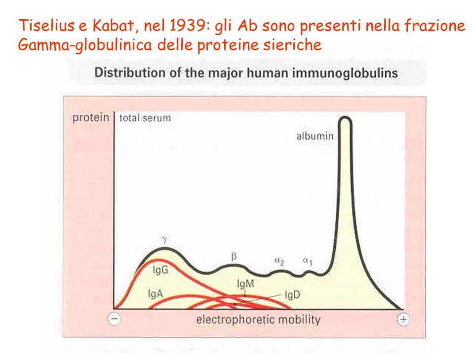 Tiselius e Kabat, nel 1939: gli Ab sono presenti nella frazione Gamma-globulinica delle proteine sieriche