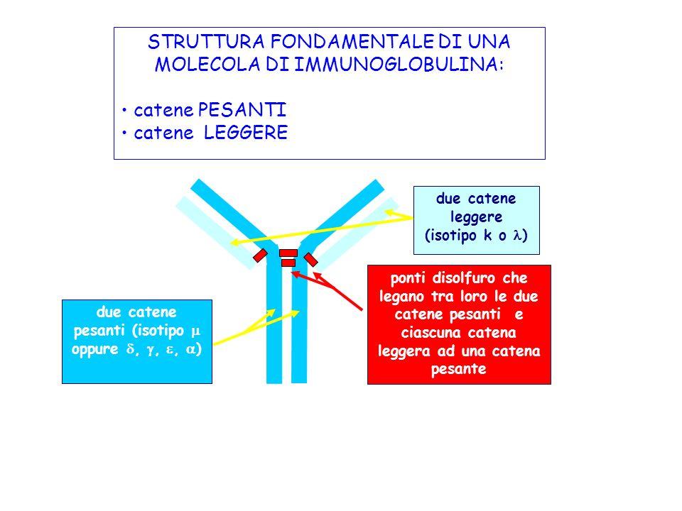 STRUTTURA FONDAMENTALE DI UNA MOLECOLA DI IMMUNOGLOBULINA: catene PESANTI catene LEGGERE due catene pesanti (isotipo oppure,,, ) due catene leggere (i
