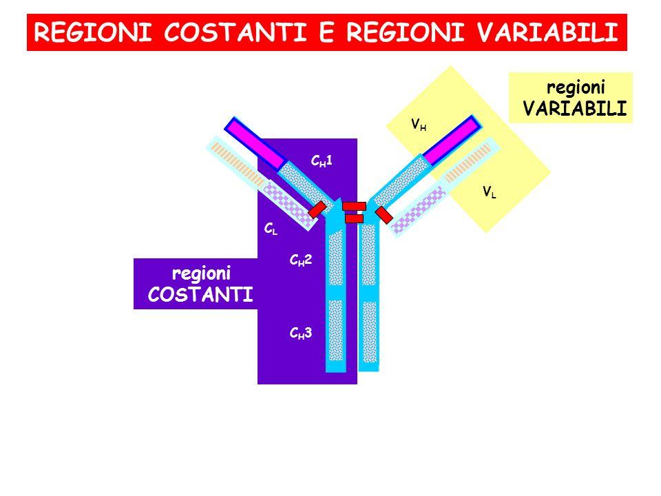 regioni COSTANTI CH3CH3 CH2CH2 CLCL CH1CH1 VHVH VLVL regioni VARIABILI REGIONI COSTANTI E REGIONI VARIABILI