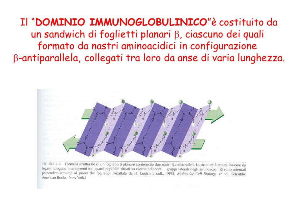 Il DOMINIO IMMUNOGLOBULINICOè costituito da un sandwich di foglietti planari, ciascuno dei quali formato da nastri aminoacidici in configurazione -ant