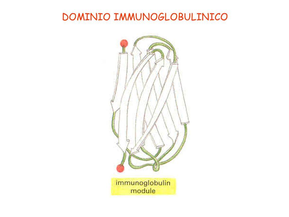 DOMINIO IMMUNOGLOBULINICO