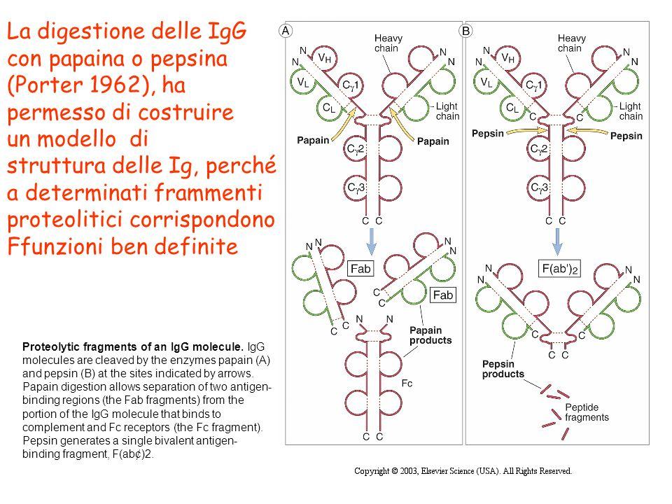 La digestione delle IgG con papaina o pepsina (Porter 1962), ha permesso di costruire un modello di struttura delle Ig, perché a determinati frammenti