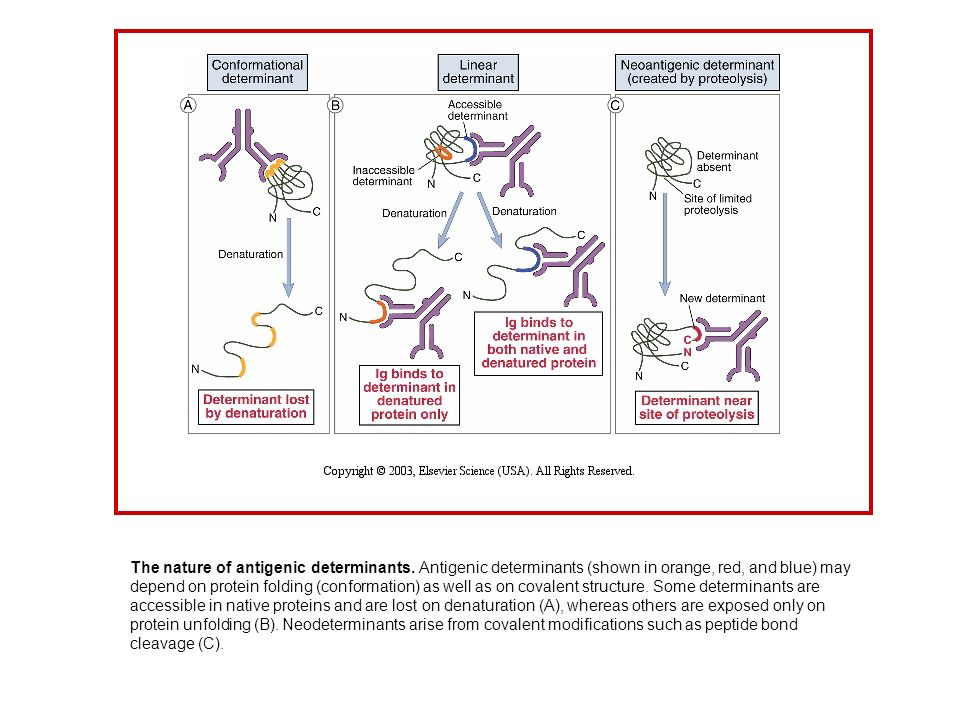 The nature of antigenic determinants. Antigenic determinants (shown in orange, red, and blue) may depend on protein folding (conformation) as well as