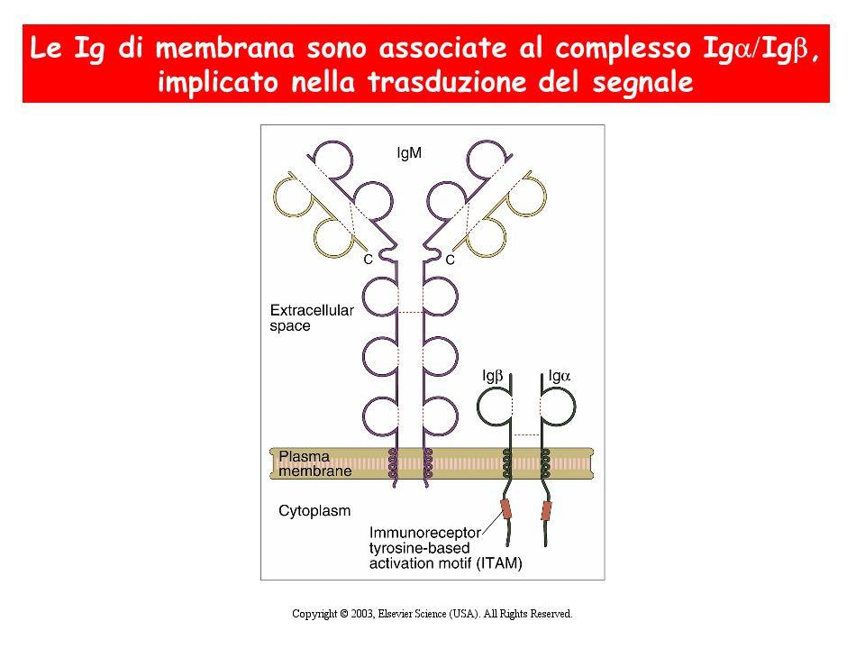 Le Ig di membrana sono associate al complesso Ig Ig, implicato nella trasduzione del segnale