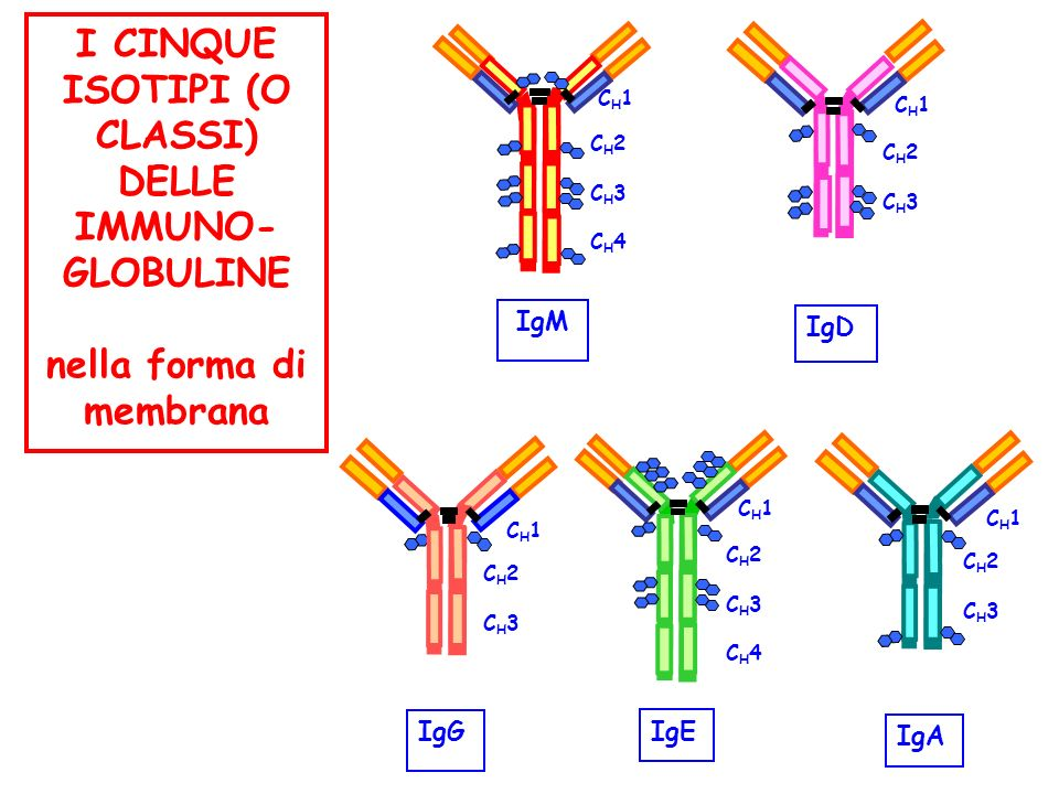 CH1CH1 CH2CH3CH4CH2CH3CH4 I CINQUE ISOTIPI (O CLASSI) DELLE IMMUNO- GLOBULINE nella forma di membrana IgM CH2CH3CH2CH3 CH1CH1 IgD CH1CH1 CH2CH3CH4CH2C