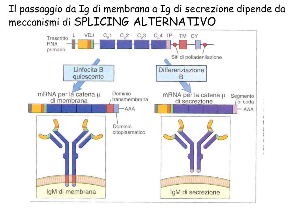 Il passaggio da Ig di membrana a Ig di secrezione dipende da meccanismi di SPLICING ALTERNATIVO
