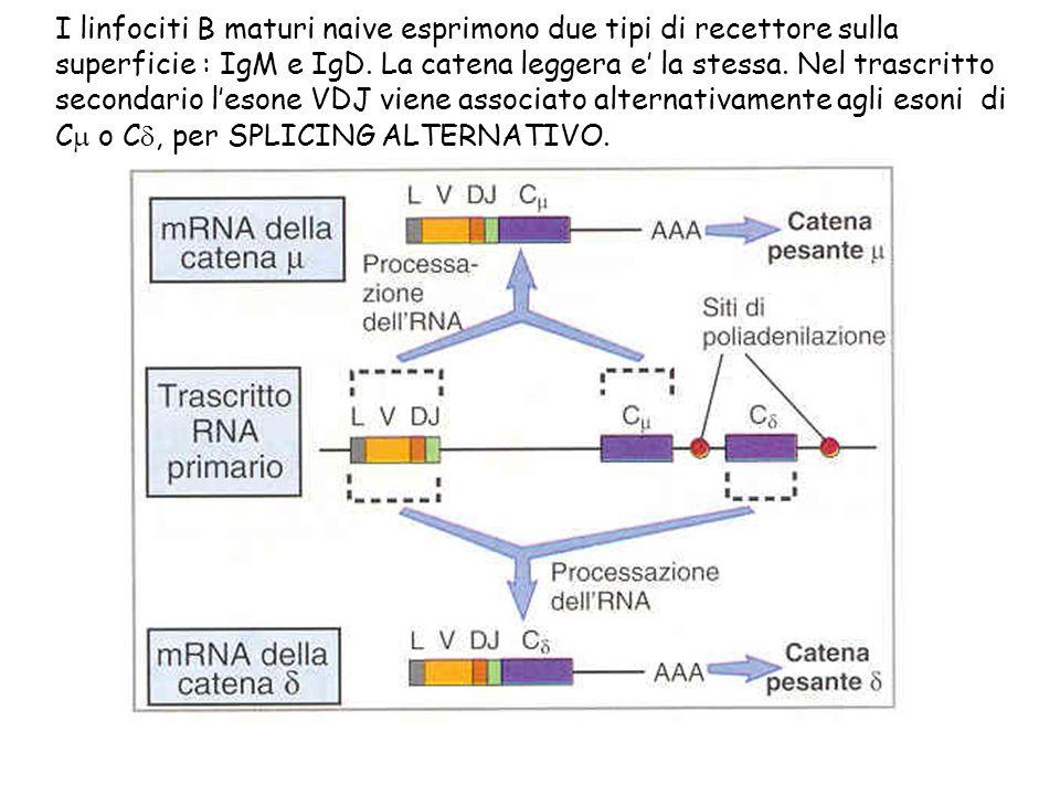 I linfociti B maturi naive esprimono due tipi di recettore sulla superficie : IgM e IgD. La catena leggera e la stessa. Nel trascritto secondario leso