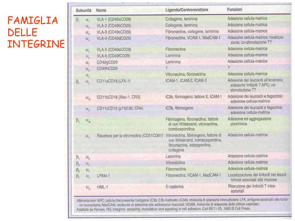 LE MOLECOLE DI ADESIONE (CAM) DEI LINFOCITI POTENZIANO LE INTERAZIONI CON LE ALTRE CELLULE E PERMETTONO LA MIGRAZIONE E IL RICIRCOLO DEI LINFOCITI - superfamiglia delle immunoglobuline - famiglia delle integrine - famiglia delle selectine - famiglia delle mucine
