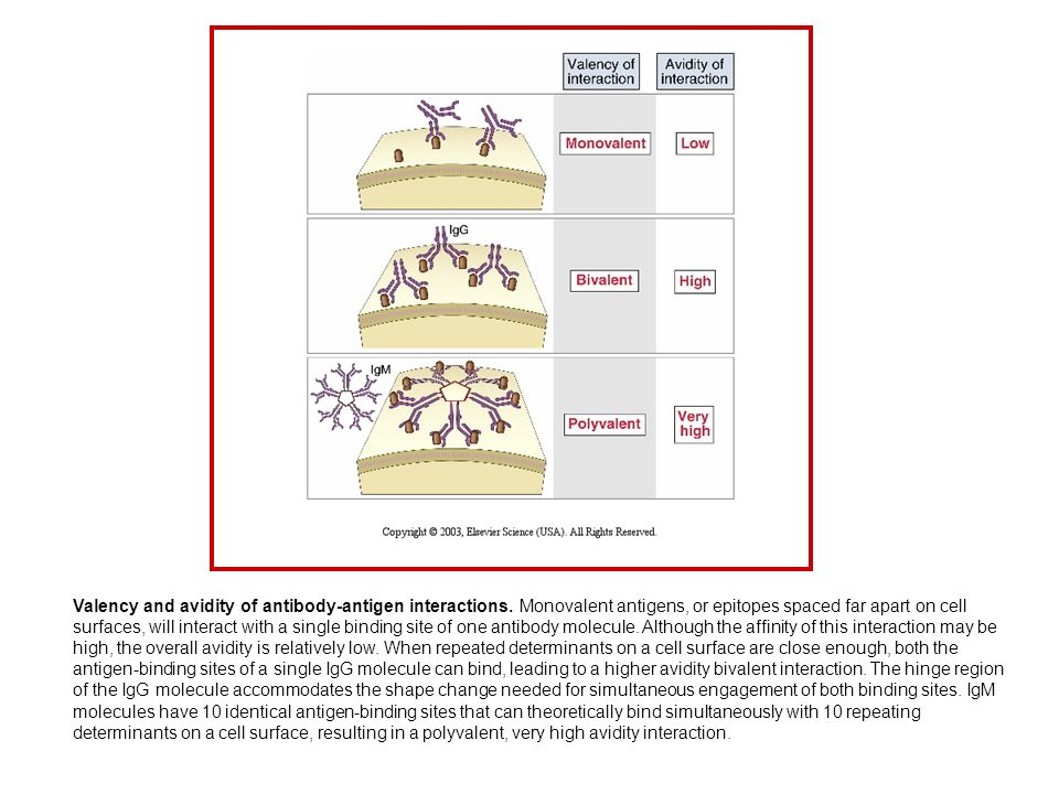 Valency and avidity of antibody-antigen interactions. Monovalent antigens, or epitopes spaced far apart on cell surfaces, will interact with a single