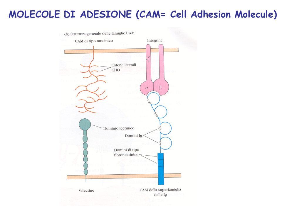 Linfociti B: il recettore per lantigene immunoglobulinico (Ig): forma di membrana (BCR) secreto (anticorpo)