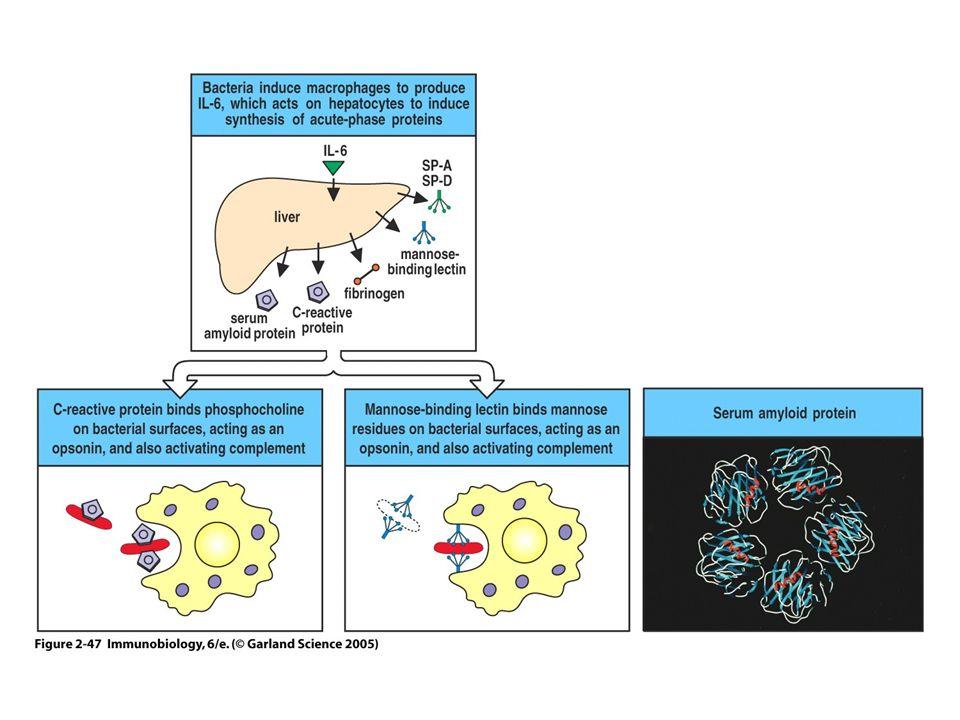 EFFETTI DI TNF, IL-1 E IL-6 TNF IL-1 Aumento permeabilità vascolare ++ Aumento espressione molecole di adesione endoteliali ++ Induzione chemochine (CXCL-8) ++ Induzione IL-6 ++ Pirogeni endogeni ++ Sintesi proteine di fase acuta dal fegato ++ Proliferazione fibroblasti ++ Produzione piastrine -+ Attivazione linfociti T ++ Attivazione linfociti B ++ Aumento sintesi immunoglobuline -- IL-6 + - - - + + - + + + +