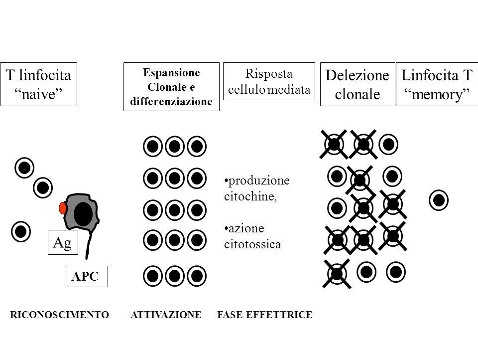 T linfocita naive Espansione Clonale e differenziazione Linfocita T memory Delezione clonale Ag APC RICONOSCIMENTO ATTIVAZIONE FASE EFFETTRICE Rispost