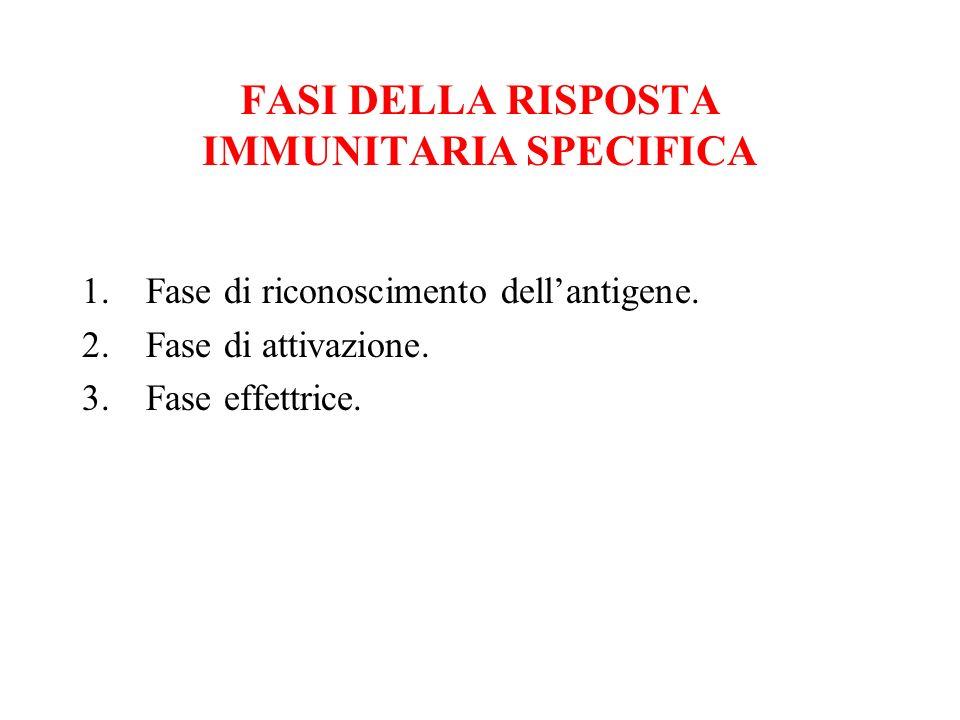 FASI DELLA RISPOSTA IMMUNITARIA SPECIFICA 1.Fase di riconoscimento dellantigene. 2.Fase di attivazione. 3.Fase effettrice.