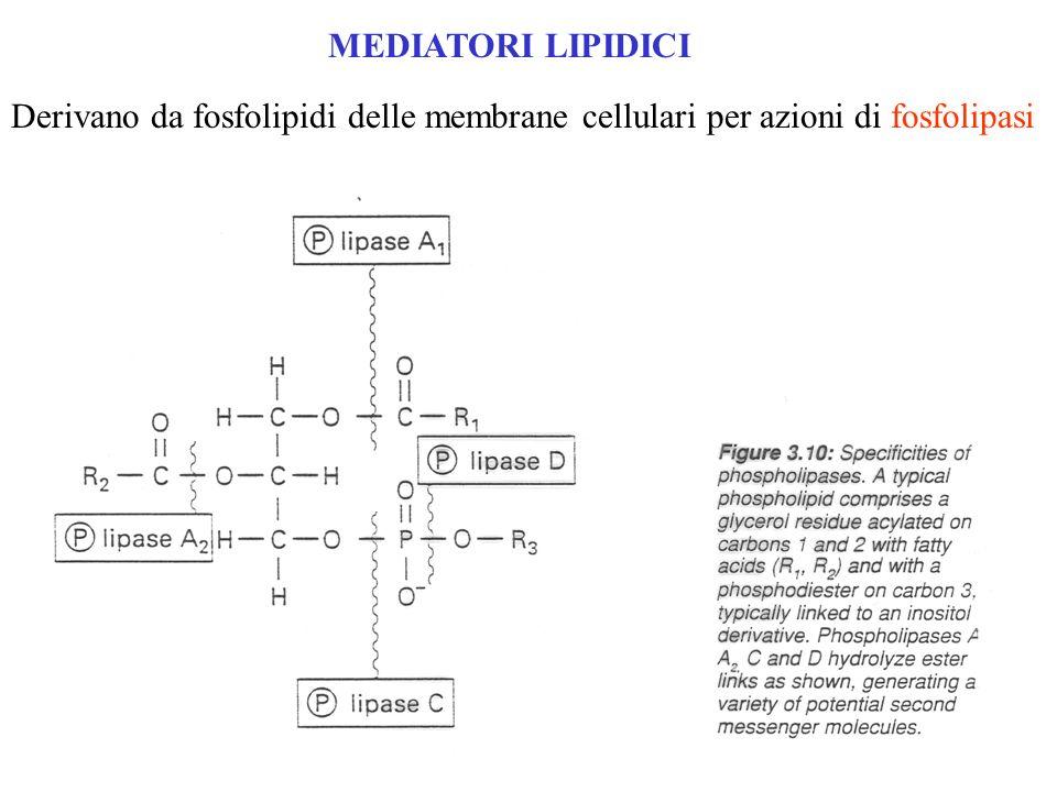 MEDIATORI LIPIDICI Derivano da fosfolipidi delle membrane cellulari per azioni di fosfolipasi