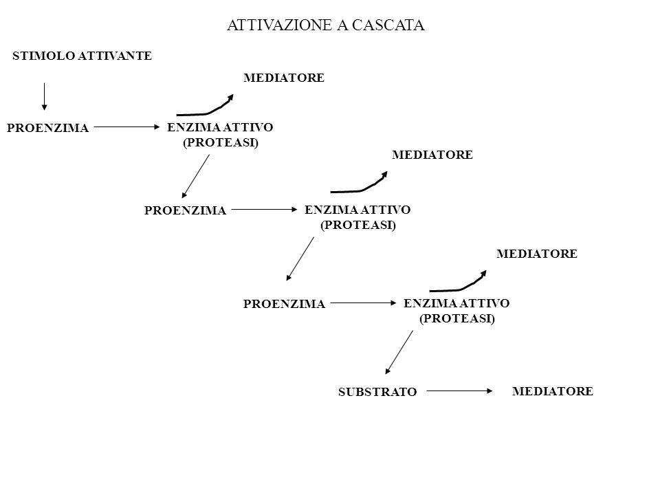 STIMOLO ATTIVANTE PROENZIMA ENZIMA ATTIVO (PROTEASI) PROENZIMA ENZIMA ATTIVO (PROTEASI) PROENZIMA ENZIMA ATTIVO (PROTEASI) SUBSTRATO MEDIATORE ATTIVAZ