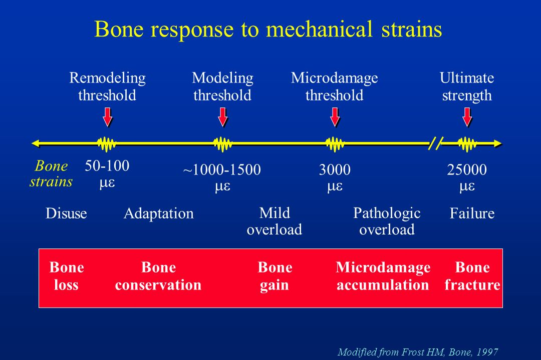 Bone response to mechanical strains ~1000-1500 3000 50-100 25000 Remodeling threshold Modeling threshold Disuse Bone loss Bone conservation Bone gain