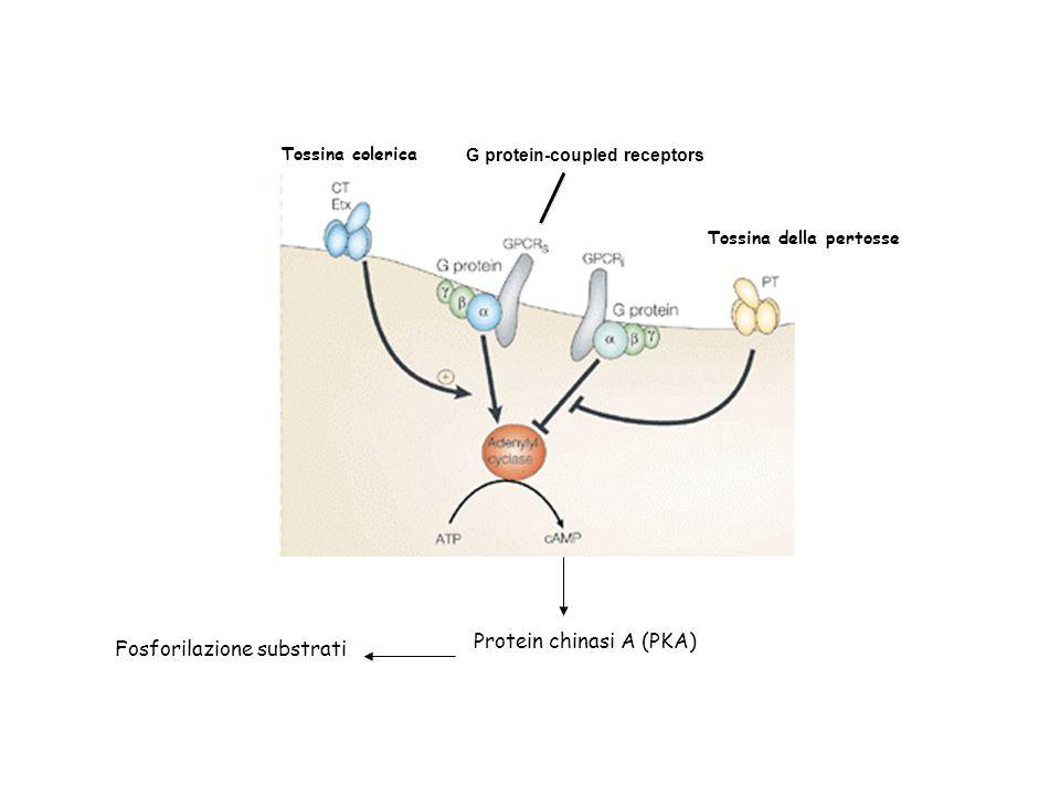 Tossina colerica Tossina della pertosse Protein chinasi A (PKA) Fosforilazione substrati G protein-coupled receptors