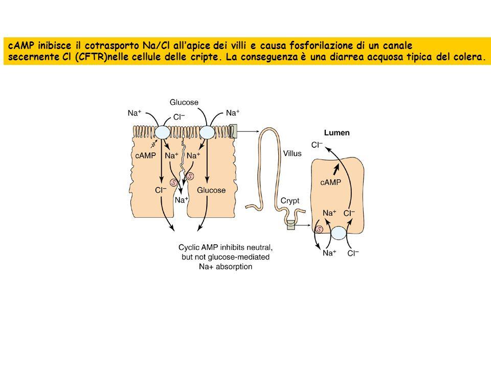 cAMP inibisce il cotrasporto Na/Cl allapice dei villi e causa fosforilazione di un canale secernente Cl (CFTR)nelle cellule delle cripte. La conseguen