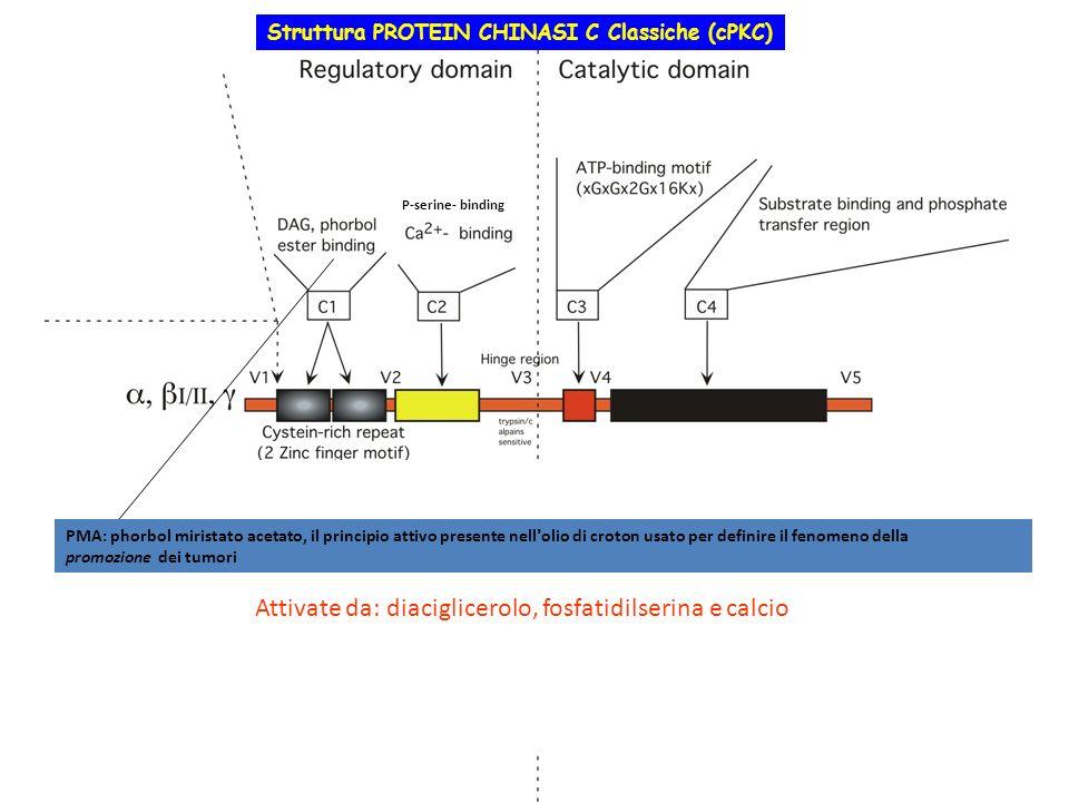 Struttura PROTEIN CHINASI C Classiche (cPKC) Nuove (nPKC) Atipiche (aPKC) Attivate da: diaciglicerolo, fosfatidilserina e calcio P-serine- binding PMA
