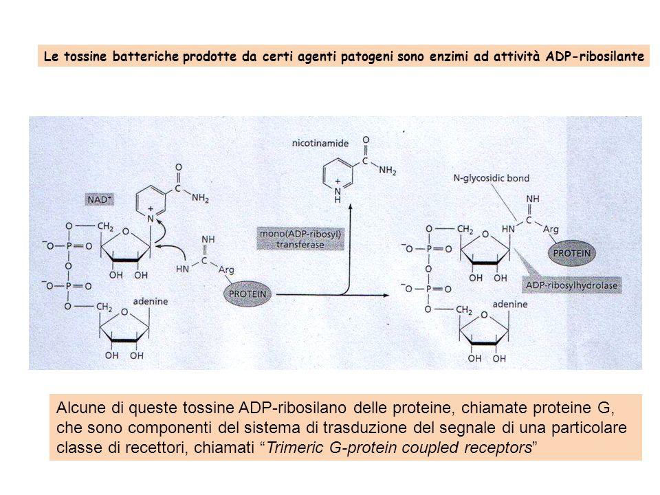 Le tossine batteriche prodotte da certi agenti patogeni sono enzimi ad attività ADP-ribosilante Alcune di queste tossine ADP-ribosilano delle proteine