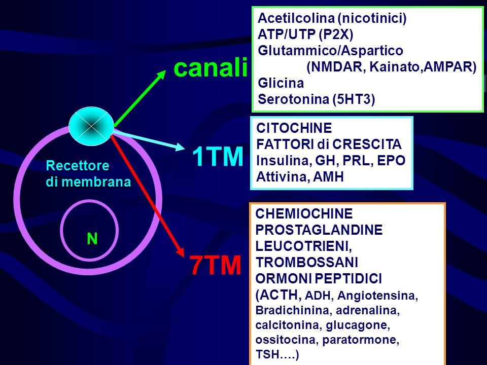 canali Recettore di membrana N Acetilcolina (nicotinici) ATP/UTP (P2X) Glutammico/Aspartico (NMDAR, Kainato,AMPAR) Glicina Serotonina (5HT3) 1TM CITOC