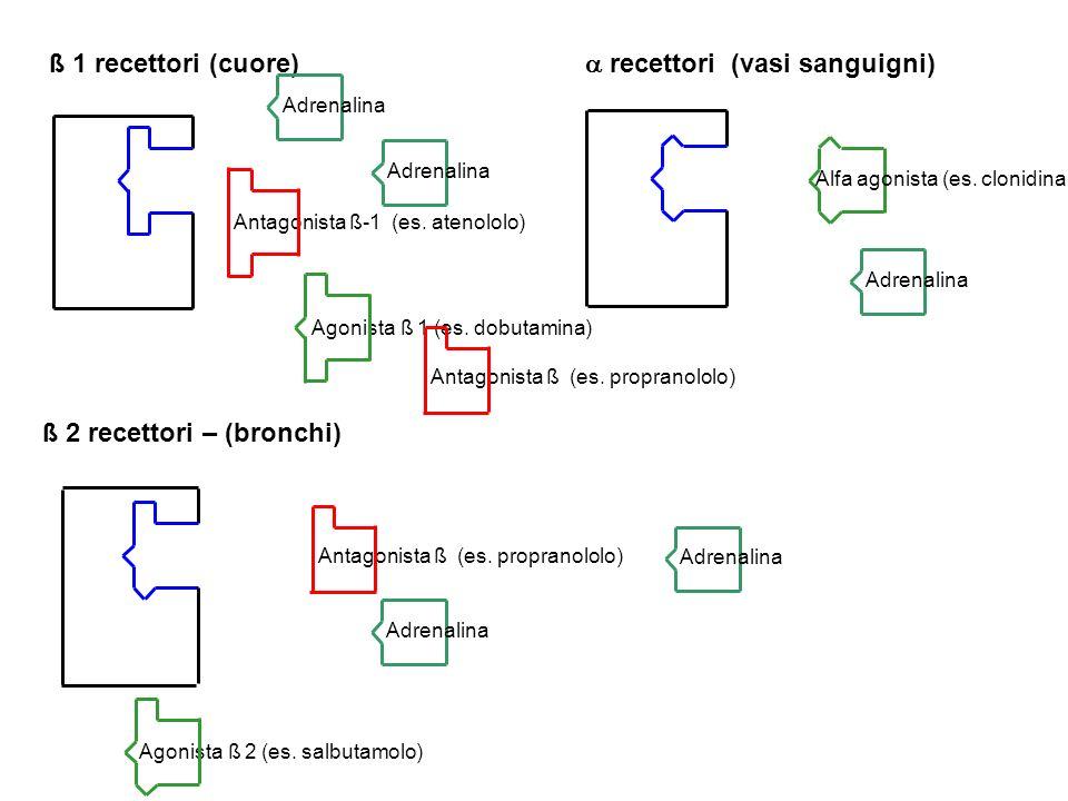 ß 1 recettori (cuore) ß 2 recettori – (bronchi) recettori (vasi sanguigni) Adrenalina Alfa agonista (es. clonidina) Agonista ß 1 (es. dobutamina) Anta