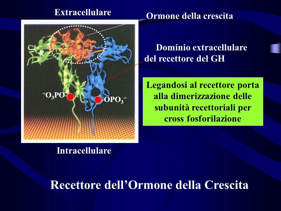 Ormone della crescita Dominio extracellulare del recettore del GH Intracellulare Extracellulare Recettore dellOrmone della Crescita Legandosi al recet