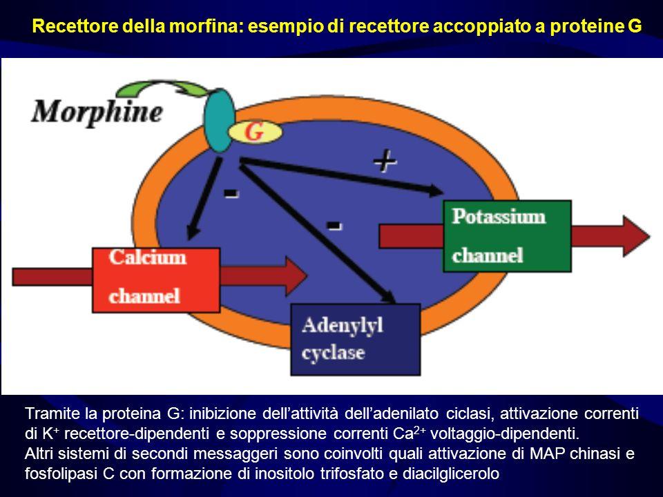 Tramite la proteina G: inibizione dellattività delladenilato ciclasi, attivazione correnti di K + recettore-dipendenti e soppressione correnti Ca 2+ v
