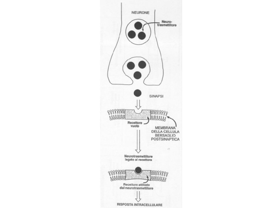 Schema semplificato del meccanismo dazione degli steroidi Ormone steroideo Complesso ormone recettore recettore H/R DNA trascrizione Nucleo CELLULA BERSAGLIO GlnProGly DNA Ormone Domini leganti