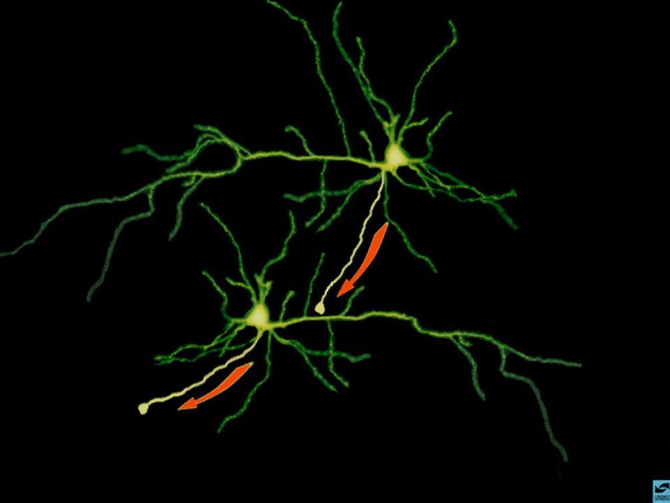 I neurotrasmettitori I neurotrasmettitori sono sostanze chimiche rilasciate dalle cellule nervose per comunicare tra loro