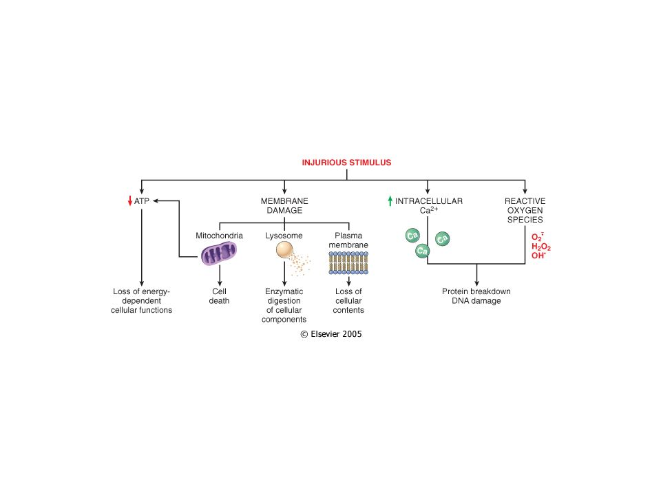 MENTRE LA CELLULA NECROTICA (cellula in necrosi) RILASCIA I SUOI COSTITUENTI ALLESTERNO, LA CELLULA APOPTOTICA (cellula in apoptosi) SI FRAMMENTA E I FRAMMENTI VENGONO RIMOSSI DA CELLULE MACROFAGICHE